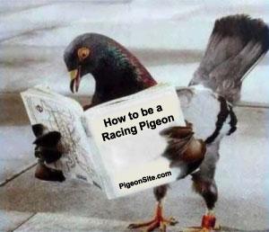 pigeon-school