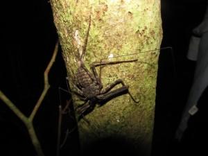 Amblypigi ගෝත්රයටඅයත් Tailless Whip scorpion නම් සත්වයෙක්