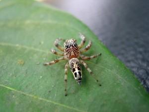 Salticidae කුළයට අයත් පිනුම් මකුළුවෙක් (A jumping spider)