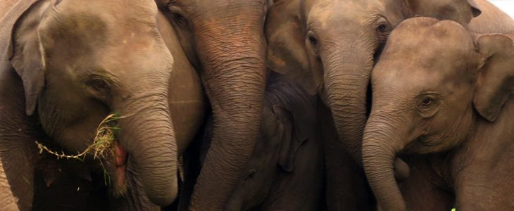 What Pulls Sri Lankan Elephants to the Critically Endangered Category?