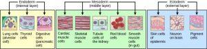 Germ-layers