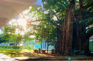 """Wails, The """"Maha Nuga"""" Tree…"""