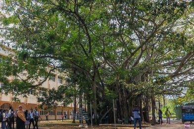 """Wail No More, Dear """"Maha Nuga"""" Tree…"""