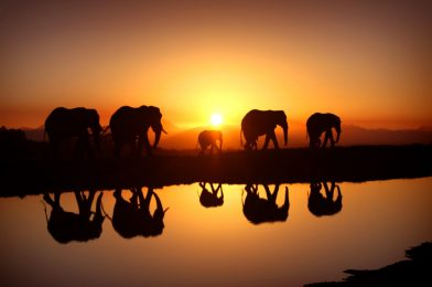 Celebrating Elephas: The Mighty Big Shots Of The Wilds